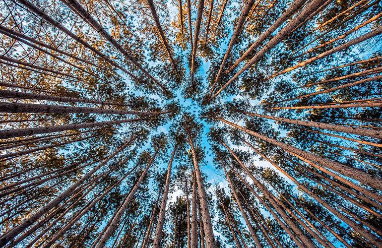 La timidez de los árboles es un fenómeno observado en algunas especies arbóreas en el cual las copas de los árboles frondosos no se tocan entre sí