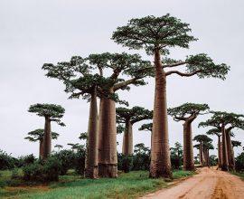 Baobab-desaparicion-forestal