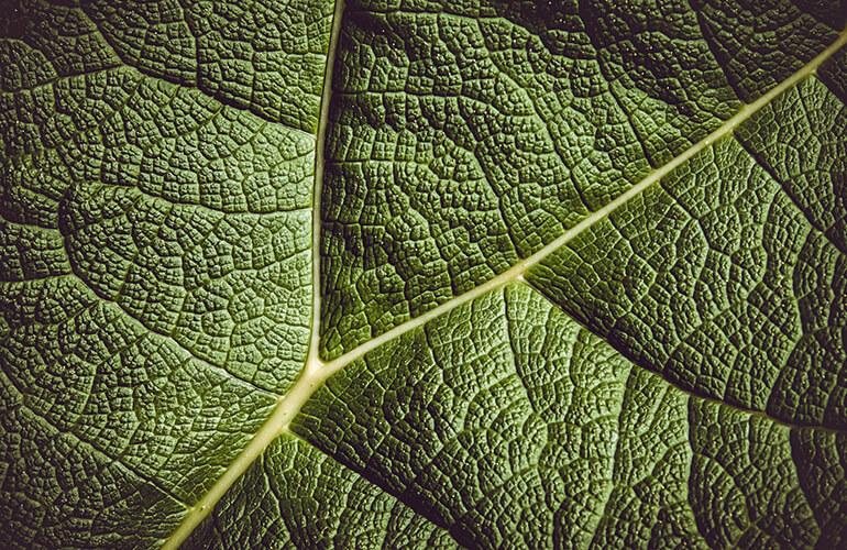 Las células madre vegetales son activos cosméticos mucho más sostenibles que los que se producen de forma tradicional